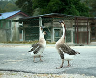 Pair of white Chinese geese, domesticated breed of swan geese (A Stock Photos