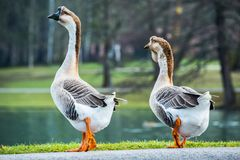 Pair of white Chinese geese in a park Stock Image