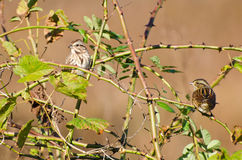 Pair of White-Crowned Sparrow Perched in Thorny Bu Royalty Free Stock Images