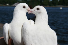 Pair of white doves Royalty Free Stock Photos