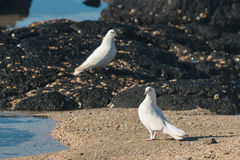 Pair of white doves on beach Stock Image