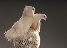 A pair of white doves on a shining ball royalty free stock photography
