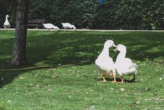 Pair of white ducks in love stock photo