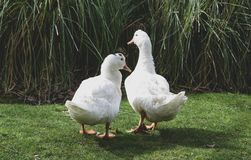 Pair of white ducks in love royalty free stock photos
