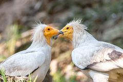 Pair of white Egyptian vultures face to face stock photo