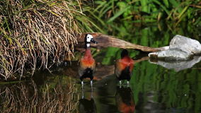 A pair of White-Faced Whistling Ducks in a marsh. Pair of White-Faced Whistling Ducks in a marsh stock video footage
