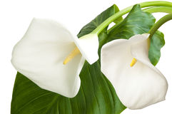 Pair of white flowers Royalty Free Stock Images