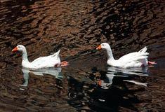 Pair of White Goose Swimming in Pond. Crete stock image