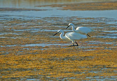 Pair of white herons. Two white herons searched worms on the marsh surface Stock Image