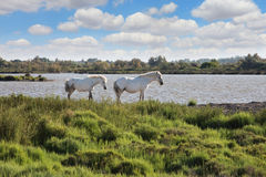 Pair of white horses grazing in Rhone Delta, Provence Stock Photography