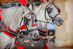 A pair of white horses. In harness closeup stock photography