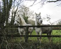 A pair of white horses. White horses grazing in a green field stock image