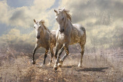 A pair of white horses. Running through a meadow Stock Photography
