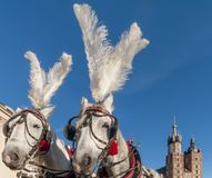 Pair of white horses with the Saint Mary`s Basilica in the background in the historic center of Krakow, Poland on a beautiful sunn. Pair of white horses with the stock images