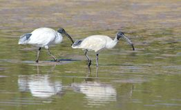 Pair of white ibis fishing. A pair of white ibis catching crabs Stock Photography