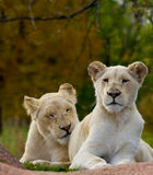 Pair of white lions Royalty Free Stock Images