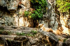 A pair of white lions resting in the shade of tree. A pair of lions resting in the shade of a tree stock image