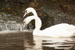 Pair of white mute swans Cygnus Olor floating on a lake. Royalty Free Stock Images