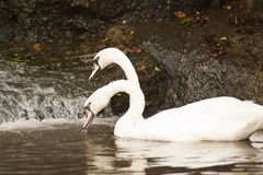 Pair of white mute swans Cygnus Olor floating on a lake. Royalty Free Stock Photos