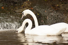 Pair of white mute swans Cygnus Olor floating on a lake. Royalty Free Stock Photo