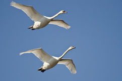 Pair of Mute Swans Flying in a Blue Sky Royalty Free Stock Photo