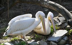 Pair of white pelicans having rest. Two pelicans resting together on the ground in sunny day royalty free stock photo