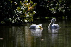 Pair of white pelicans Royalty Free Stock Photo