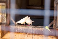 A pair of white pigeons in a dovecote at the temple in Rusinovo royalty free stock photo