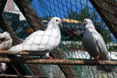 A pair of white pigeons Stock Photos
