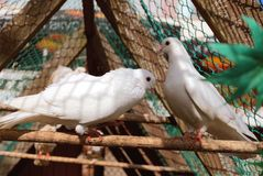A pair of white pigeons Stock Image
