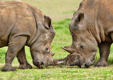 Pair of White Rhino Royalty Free Stock Photo