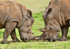 Pair of White Rhino Royalty Free Stock Photo