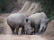 Pair of White Rhino on Road Stock Photography