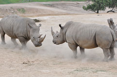 Pair of white rhinos Royalty Free Stock Photo