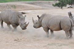 Pair of white rhinos. A pair of Northern White Rhinos (Ceratotherium simum cottonl) facing off Royalty Free Stock Photo