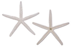 Pair of White Starfish Royalty Free Stock Photo