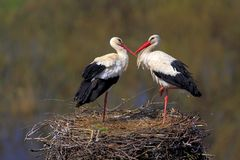 Pair of White Stork birds on a nest during spring season. Pair of White Stork birds on a nest during the spring nesting period royalty free stock images