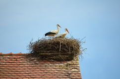 Pair of White Stork (Ciconia ciconia) Stock Images