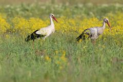 A pair of white stork in the grass Royalty Free Stock Images