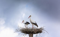 Pair white stork preparing nest Stock Image