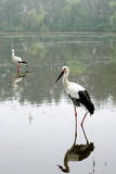 Pair of white storks Royalty Free Stock Photography