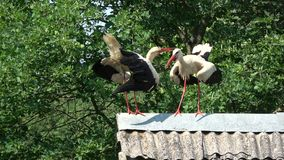 Pair white storks Ciconia chattering clattering on old roof stock video