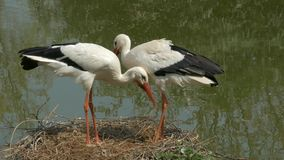 Pair of white storks (Ciconia ciconia) clattering the beak.. stock video footage