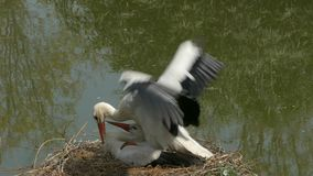 Pair of white storks (Ciconia ciconia) copulating in their nest. stock video footage