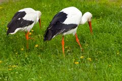 Pair white storks conceptual bird walking on the meadow and look Stock Photos