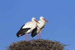 Pair of white storks Stock Images