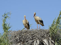 A pair of white storks in Portugal Stock Image