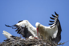 Pair of white storks sitting in their nest. Male stork brings food to brooding female stork Royalty Free Stock Photo