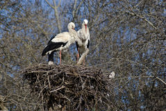 Pair of white storks on their nest. Pair of white storks, Ciconia ciconia, on their nest in Spain Royalty Free Stock Photography