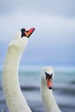 Pair of white swans. Pair of the white swans Royalty Free Stock Image